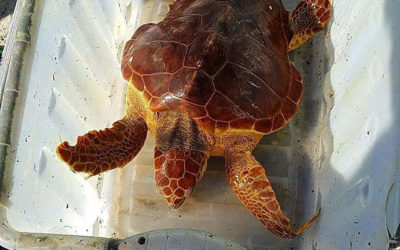Sea Turtle Comes In from the Cold in Harvey Cedars